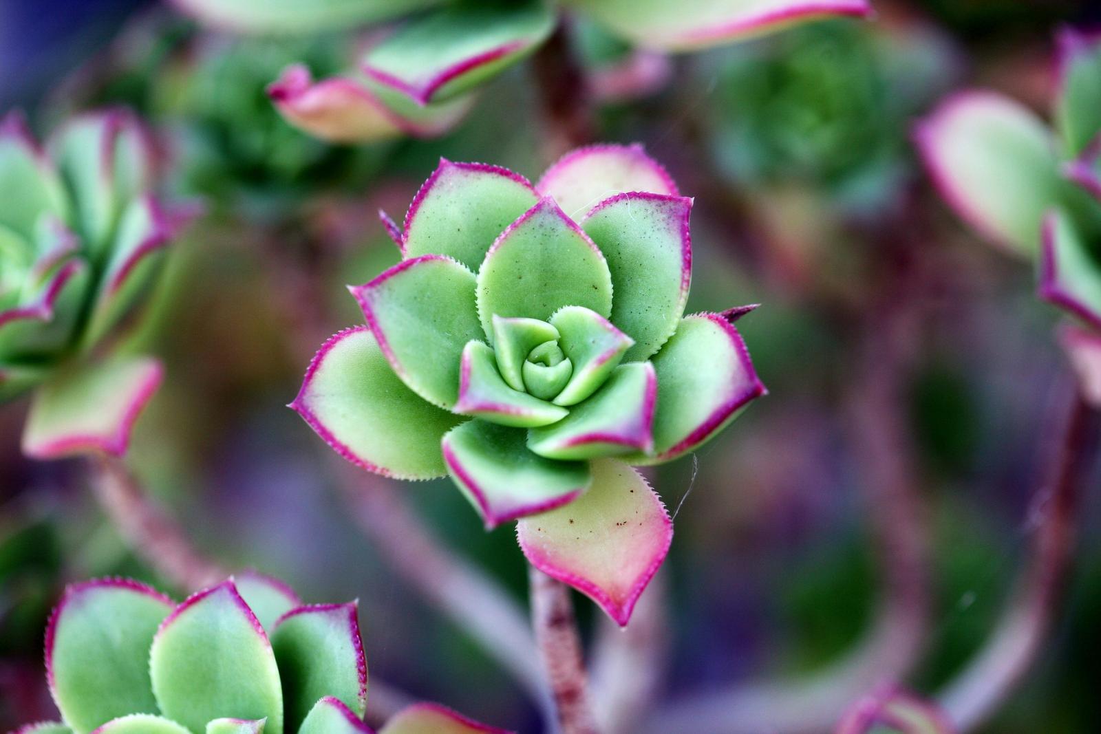 a-fleshy-plant-1465050_1920